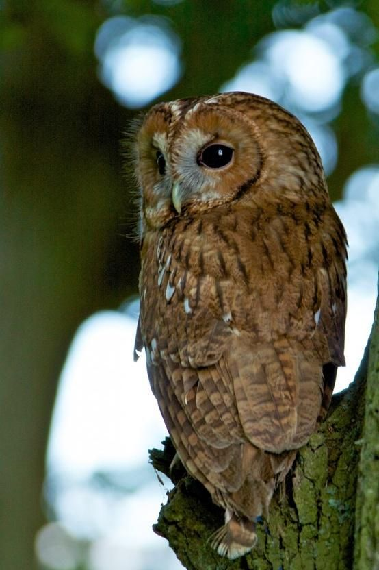 Tawny Owl: my favourite of all the owls since I was little