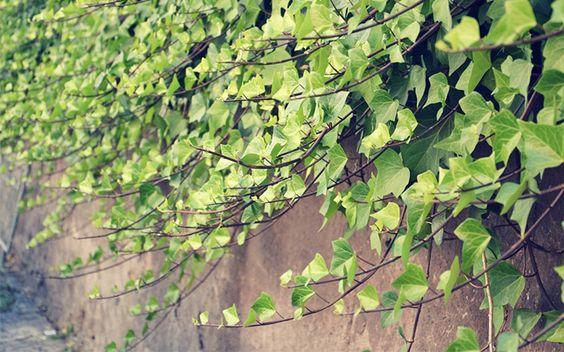 shade garden  the best climbing plants for shady garden spots