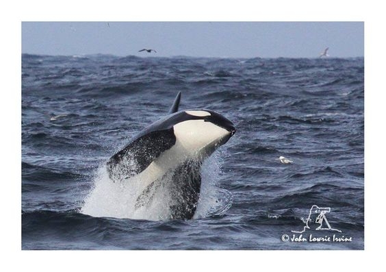 Breaching Orca by John Lowrie Irvine. | Orcas Of The World ... Orca Pod Breaching