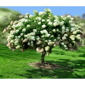 phantom hydrangea paniculata garden pinterest trees a tree and branches. Black Bedroom Furniture Sets. Home Design Ideas