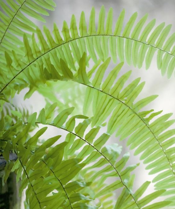 Pinterest the world s catalog of ideas for Non toxic ferns