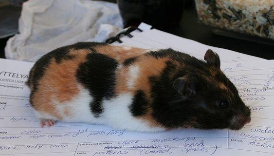 Black tortoiseshell and white Syrian female | Hamsters ...