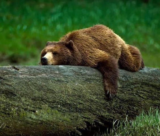 Alaskan Bear Laying - Bing Images