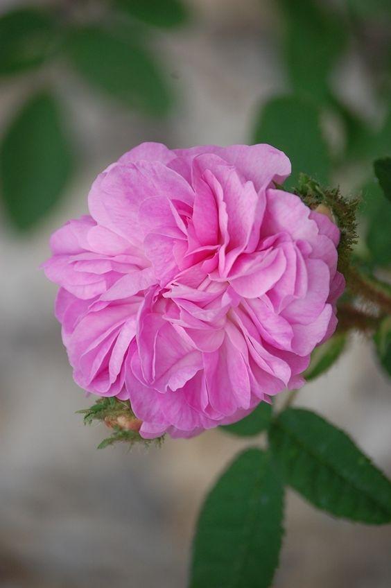 Moss Rose: Rosa 'Venus' (Germany, 1904)