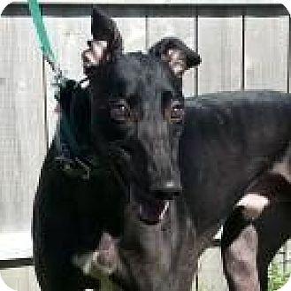 Grandville, MI - Greyhound. Meet WHYNOT JORDAN, a dog for adoption. http://www.adoptapet.com/pet/11938985-grandville-michigan-greyhound