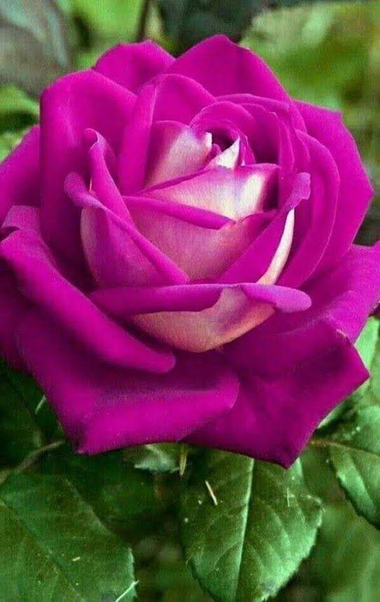 Pin On Rosen Roses