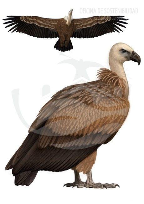 Lugar a dudas el ave m 225 s grande que podemos observar sobrevolando el