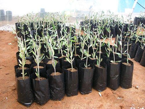 طريقة زراعة نصوب الزيتون Garden Design Plants Oils