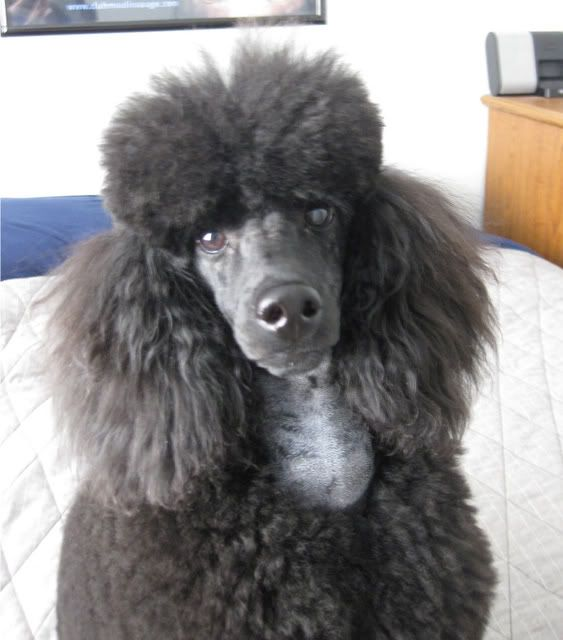 How Long Would Ear Hair Take To Regrow Poodle Forum
