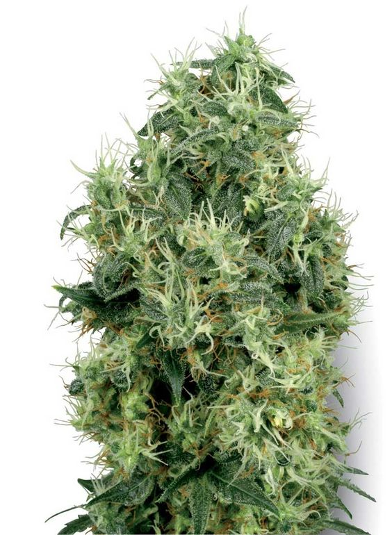 White Gold is a strain, breed with old fashioned regular hemp string. It produced both male and female plants and very stable hemp string. #growhempseeds #howtogrowhemp