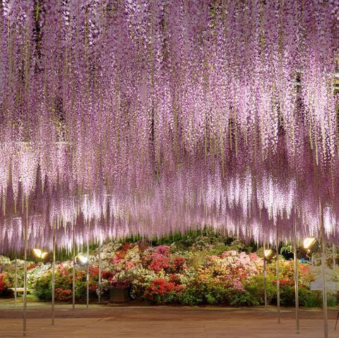 Japan S Wisteria Gardens Are Even More Beautiful Than Its Cherry Blossoms With Images Wisteria Garden Wisteria Types Of Purple Flowers