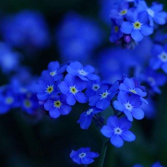 Aesthetic Myosotis Sylvatica Forget-me-not Flowers