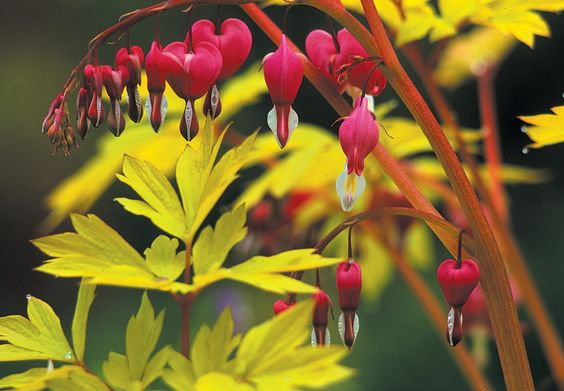 From stately trees to dramatic bulbs, selections from the Great Plant Picks (GPP) that are notable for their superior foliage comprise a rich array of evergreen and deciduous plants. When considering plants for their foliage effects, it is important to think about texture as well as color and seasonal interest....