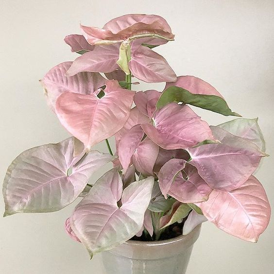 Pink Arrowhead Plant - 10 Pink Indoor House Plants