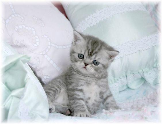 Exotic Short Hair Persian Kittens | Exotic Shorthair Persian Cat ...