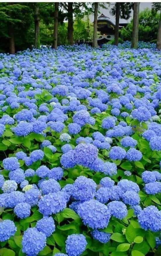 Pin By Well I M Dead Duh On Jardins E Flores Beautiful Gardens Beautiful Hydrangeas Hydrangea Garden