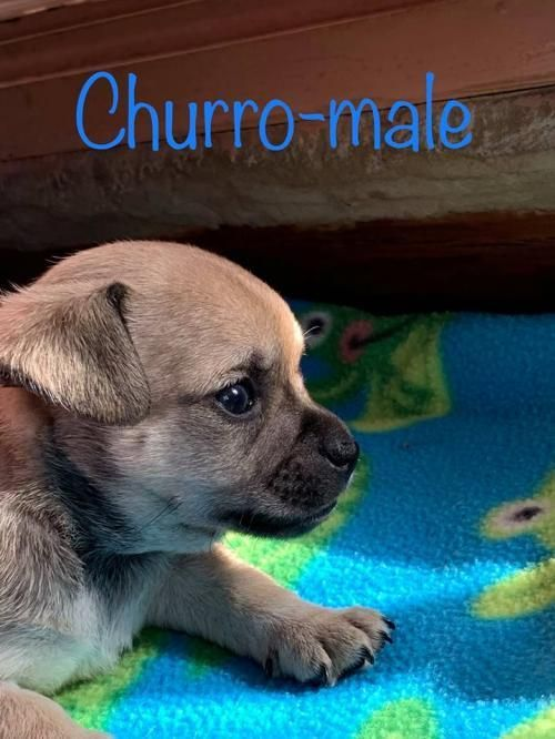 Adopt Churro On Rescue Dogs Dogs Pets