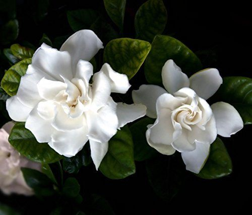 Gardenia Pests Diseases Leaves Turning Brown More Gardenia Plant Fragrant Flowers Gardenia Trees