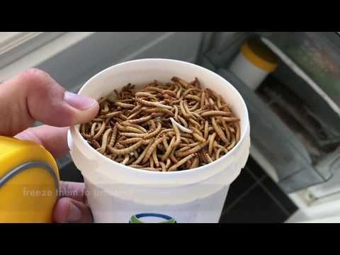 How To Breed Mealworms Ofera Insects Mealworm Farm Youtube Mealworm Farm Meal Worms Raising Farm