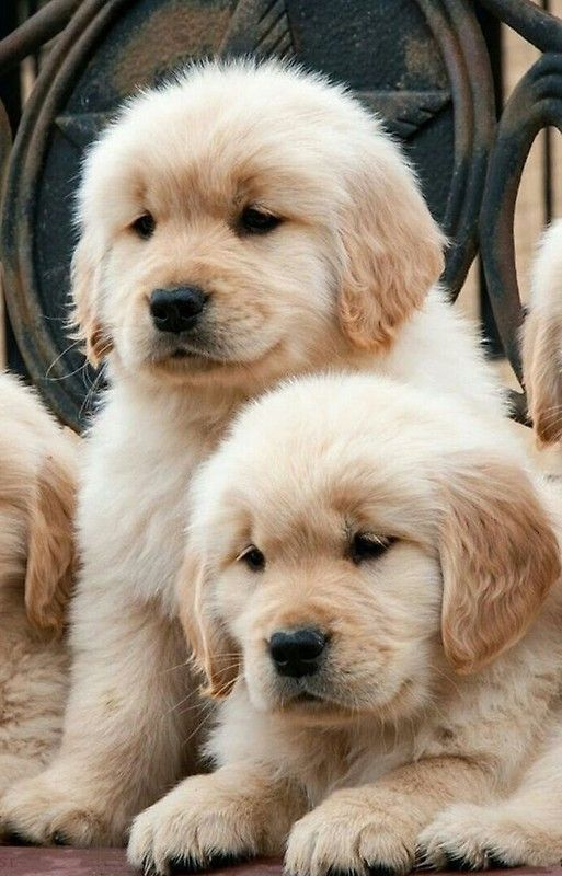 Golden Retriever Puppies Cute Pictures And Facts Dog Breeds
