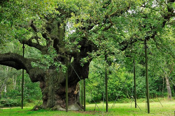 Magnificent Old English Oak (quercus Robur)