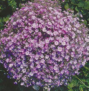 roses flowers gypsophila flower - photo #10