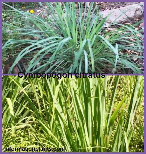 عشبة الليمون او الاذخر الليموني Lemon Grass قسم النبات العطري نبات عطري معلومان عامه معلوماتية نبات حيوان اسماك فوائد Plants Herbs Grass