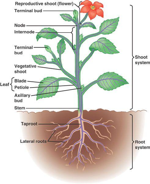 plant anatomy diagram diagram pinterest : plant diagrams - findchart.co