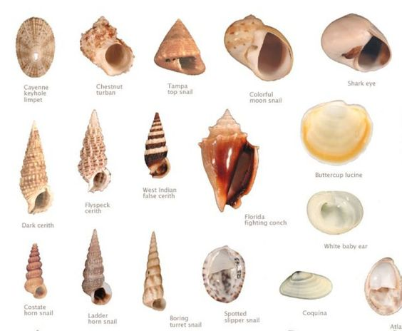 different names of seashells google search summer