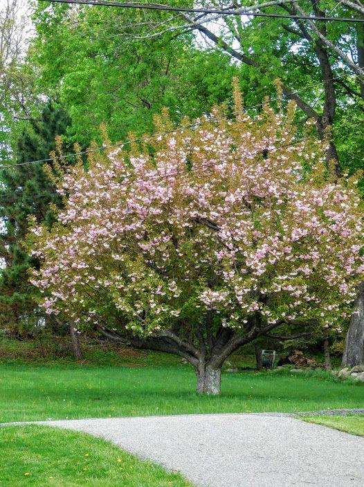 Cherry Blossoms Tree Budd Lake Nj Photo Google Photos Country Garden Flowers Cherry Blossom Tree Blossom Trees