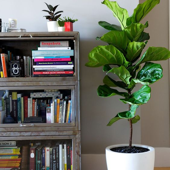 fiddle leaf fig interior medium