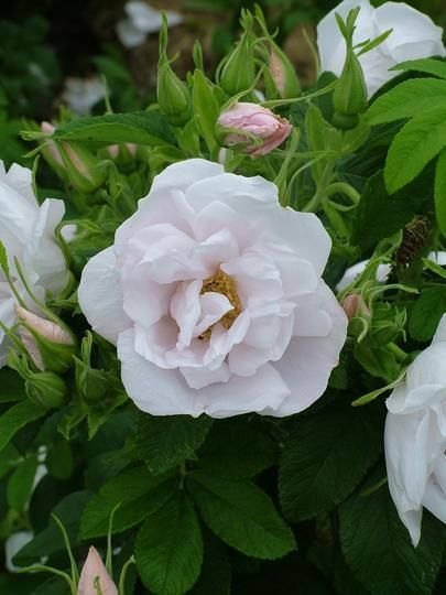rugosa roses - white perfection