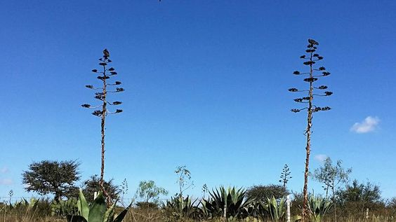 vulture birds in Magueyes,  Mineral de Pozos.
