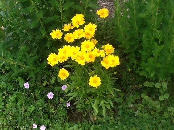 Yellow coreopsis.