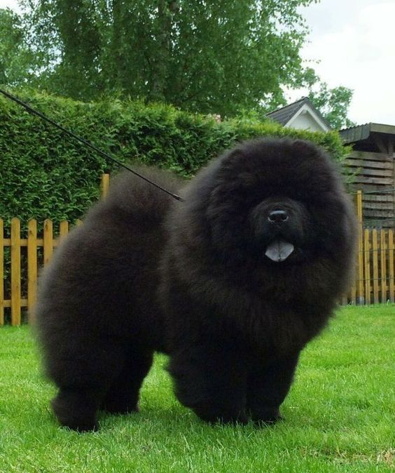 14 Cute Pictures Of Black Chow Chows That Will Make Your Mouth
