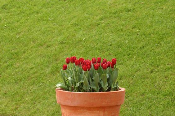 Cómo cuidar de los tulipanes que están en una maceta ya floreciendo y…