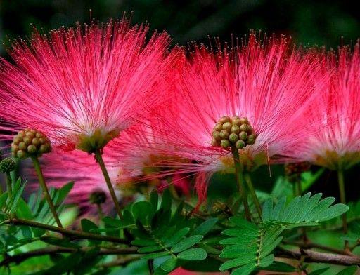 Albicja Jedwabna Roslina Ktora Spi Swieci W Nocy Flower Garden Garden Design Pictures Flowers