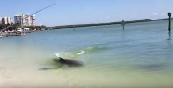 Dolphin_Captures_Big_Snook_on_Film_