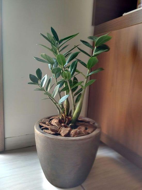 Plantas Zamioculcas Para Decorar A Casa Jardinagem Em Vasos