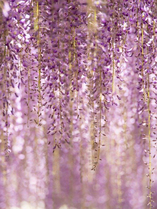 Aesthetic Flowers Wallpapers Iphone In 2020 Flower Wallpaper Japanese Plants Wisteria