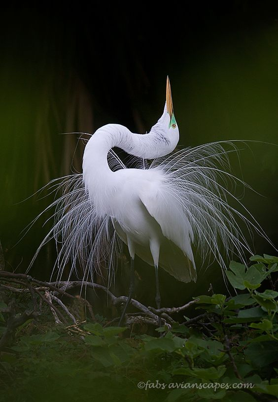 Great Egret in mating display. St. Augustine, Florida.: