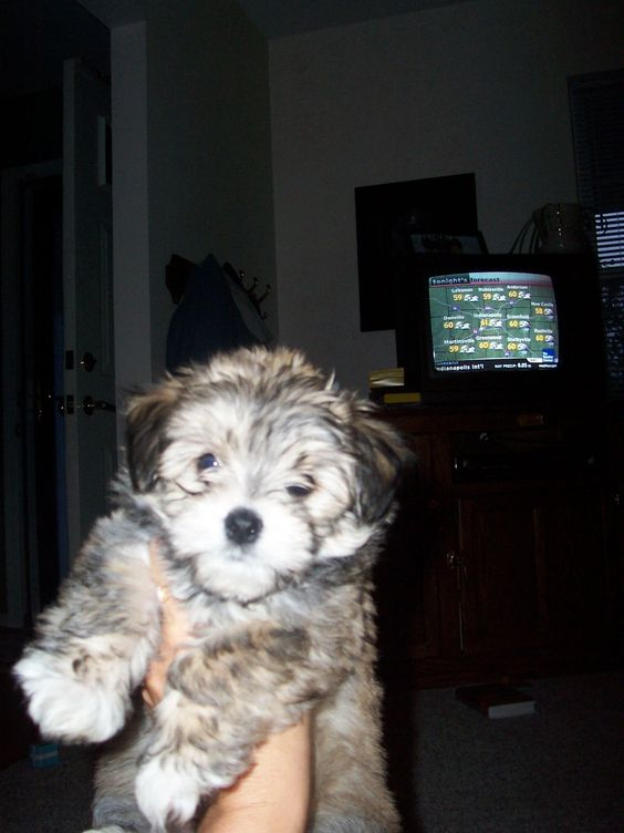 Baby Rascal, our little Morkie.