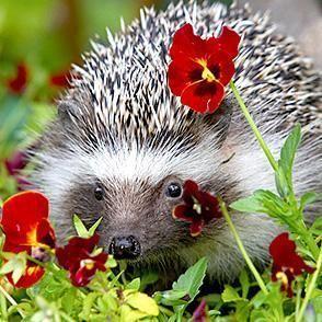 Hedgehog | San Diego Zoo Animals