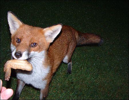 Fox Eating Chicken