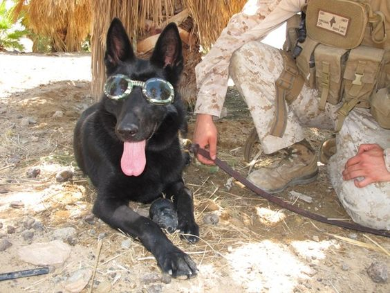 "Author Maria Goodavage helps tell the story of military dogs, their handlers and the bonds between them in her book ""Soldier Dogs."" Here, Goodavage discusses the story behind the photos: ""When I met Fenji, I was drawn to her because she was wearing dog goggles, a.k.a. Doggles."" Read more here: http://wapo.st/HJbmR9"