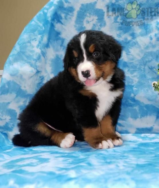 Nick Bernese Mountain Dog Puppy For Sale In Dalton Oh Lancaster Puppies In 2020 Bernese Mountain Dog Puppy Bernese Mountain Dog Mountain Dogs