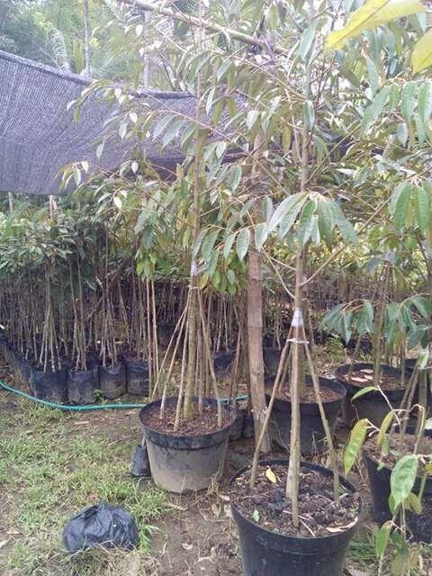 Jual Bibit Durian Bawor Merah Musang King Montong Menoreh Kuning Pelangi Duri Hitam Unggul Cepat Buah Nutris Tanaman Ide Berkebun Perlengkapan Berkebun