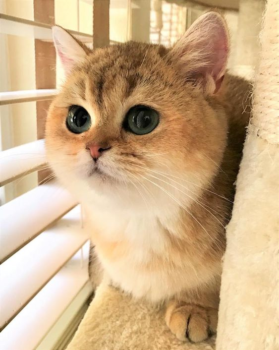 Scottish Fold And British Kittens For Sale Long And Short Hair Located In Florida 480 1400 In Scottish Fold Kittens Scottish Fold Kitten For Sale