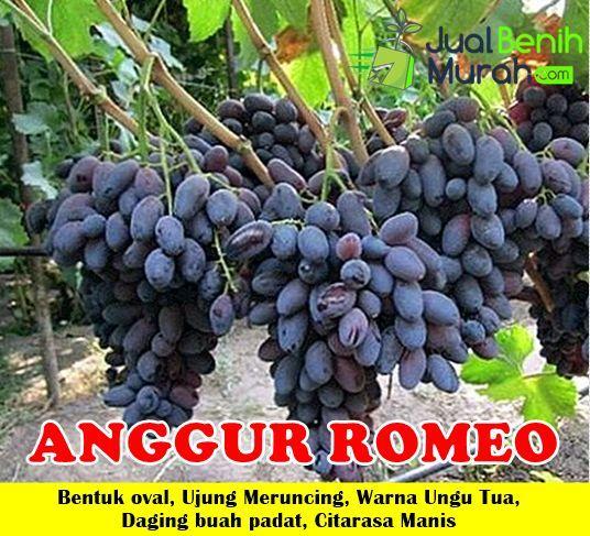 Manfaat Buah Anggur Ungu