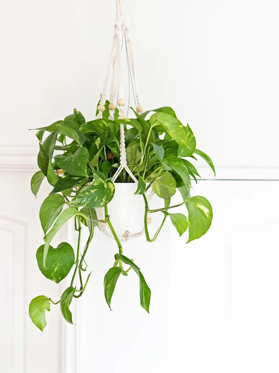golden pothos, 10 types of pothos